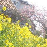 河津桜を見てきました